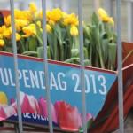 tulpendag-amsterdam-2013-tulipes-jaunes-velo